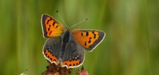 Small Copper - ab. caeruleopunctata