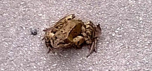 A frog outside the Wheatley, Ben Rhydding