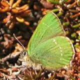Green Hairstreak, April 2015, Dave Howson