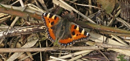 Tortoiseshell 13th March 2016