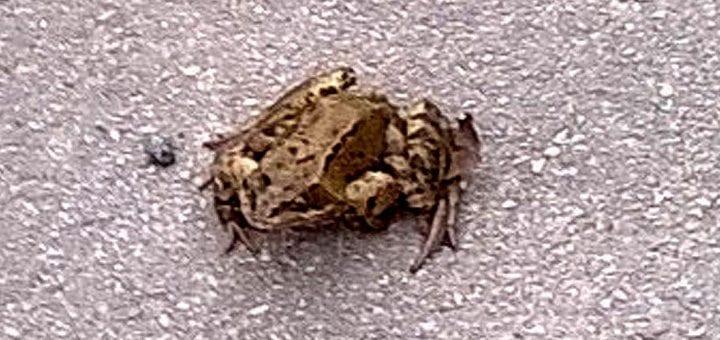 A frog outside the Wheatley, Ben Rhydding