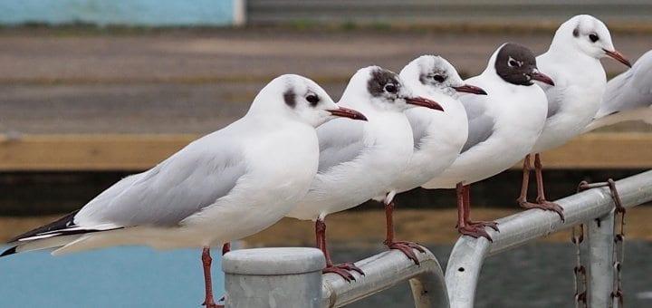 Black-headed Gulls by Rob Dixon